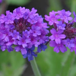 Small Image of Verbena Rigida 15cm Pot Size