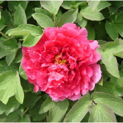 Small Image of Japanese Tree Peony Light Red 9cm Pot Size