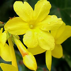 Small Image of Jasminum Nudiflorum Winter flowering Jasmine 19cm Pot Size
