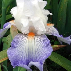 Small Image of Iris germanica 'Mission Ridge' 12cm Pot Size