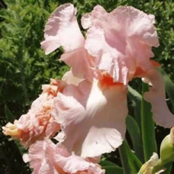 Small Image of Iris germanica 'Constant Wattel 12cm Pot Size