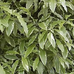 Small Image of Pittopsporum Euginoides 'Variegatum' 19cm Pot Size