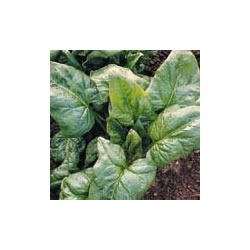 Small Image of Spinach plants