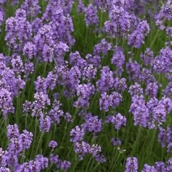 Small Image of Lavandula angustifolia 12cm Pot Size