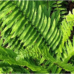 Small Image of Dryopteris atrata 15cm Pot Size