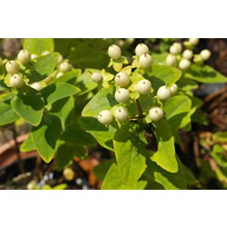 Small Image of Hypericum x inodorum 'Magical White' 15cm Pot Size