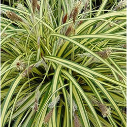 Small Image of Carex hachijoensis 'Evergold' 15cm Pot Size