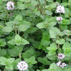Small Image of Mentha aquatica 15cm Pot Size