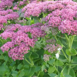 Small Image of Sedum 'Autumn Joy' 15cm Pot Size