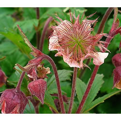 Small Image of Geum rivale 15cm Pot Size