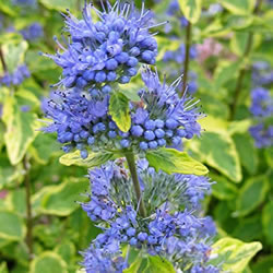 Small Image of Caryopteris x clandonensis 'Summer Sorbet' 15cm Pot size