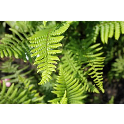Small Image of Dryopteris x affinis 15cm Pot Size