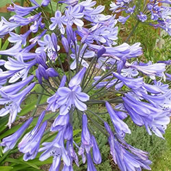 Small Image of Agapanthus 'Lavender Haze' 15cm Pot Size