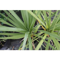 Small Image of Cordyline australis Hardy Palm 19cm Pot Size