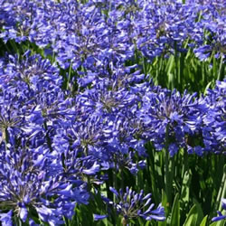 Small Image of Agapanthus africanus 19cm Pot Size
