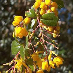 Small Image of Berberis darwinii 'Compacta' 19cm Pot Size