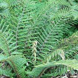 Small Image of Polystichum polyblepharum 15cm Pot Size
