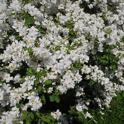 Small Image of Exochorda x macrantha 'The Bride' 19cm Pot Size