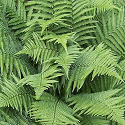 Small Image of Dryopteris felix-mas 'Linearis Polydactyla' 15cm Pot Size
