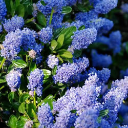 Small Image of Ceanothus 'Autumnal Blue' 19cm Pot Size