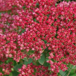 Small Image of Sedum munstead 'Dark Red' 15cm Pot Size