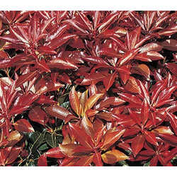 Small Image of Pieris japonica 'Scarlett O Hara' 16 cm Pot Size
