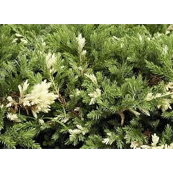 Small Image of Juniperus chinensis 'Expansa Aureospicata' 12cm Pot Size