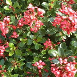 Small Image of Escallonia 'Red Dream' 19cm Pot Size