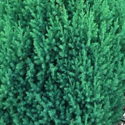Small Image of Juniperus chinensis 'Stricta' 13cm Pot Size