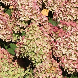 Small Image of Hydrangea paniculata 'Magical Candle' 19cm Pot Size