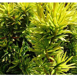 Small Image of Taxus baccata 'David' 15cm Pot Size
