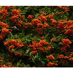 Small Image of Pyracantha 'Mohave Silver' 15cm Pot Size