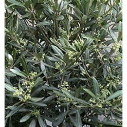 Small Image of Olea europa 'Olive' 15cm pot Size