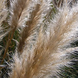 Small Image of Cortaderia selloana 'Pumila' 23cm Pot Size