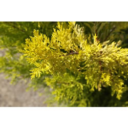 Small Image of Cupressus 'Goldcrest Wilma' 19cm Pot size