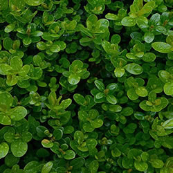 Small Image of Buxus sempervirens Pack of 6 plants