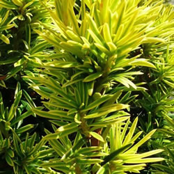 Small Image of Taxus fastigiata 'Aurea' 24cm pot