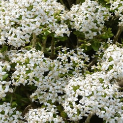 Small Image of Olearia x hastii 15cm Pot Size