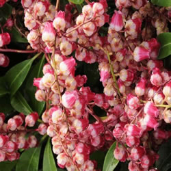 Small Image of Pieris japonica 'Passion' 15cm Pot Size