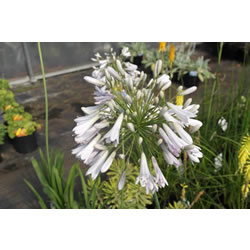 Small Image of Agapanthus 'Windsor Grey' 15cm pot Size