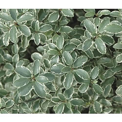 Small Image of Pittosporum tenuifolium 'Marjory Channon' 19cm Pot Size