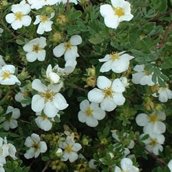 Small Image of Potentilla fruticosa 'Abbotswood' 19cm Pot Size