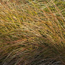 Small Image of Stipa 'Arundinacea' 15cm Pot Size