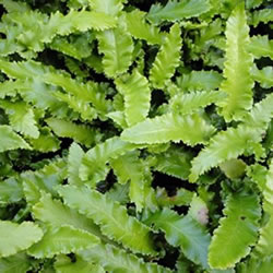 Small Image of Asplenium angustifolia 15cm Pot Size