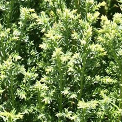 Small Image of Chamaecyparis lawsoniana 'Snow White ' 13cm Pot Size
