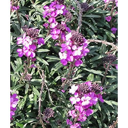 Small Image of Erysimum 'Bowles Mauve' 12cm Pot Size
