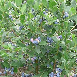 Small Image of Blueberry Vaccinium corymbosum Blueberry  'Bluecrop' 19cm Pot Size