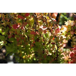 Small Image of Berberis thunbergii 'Golden Rocket' 19cm Pot Size