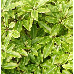 Small Image of Pittosporum 'Golden King' 19cm Pot Size