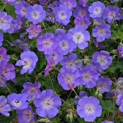 Small Image of Geranium 'Azure Rush' 15cm Pot Size